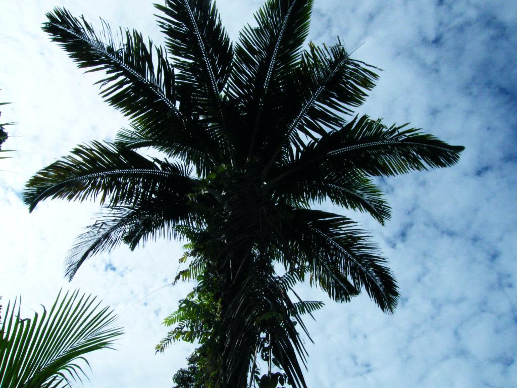 palmier sagoutier